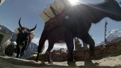 HIMALAYAS, NEPAL - MARCH, 2014: Yaks on trail roun Stock Video Footage