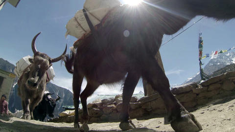 HIMALAYAS, NEPAL - MARCH, 2014: Yaks on trail roun Footage