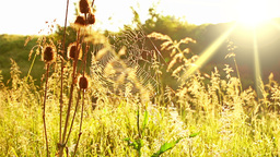 Prairie Grass and Spider Web and Sun Footage