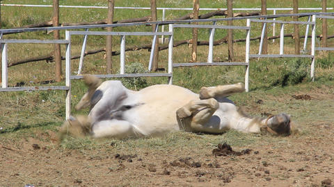 White Horse rolling on its back Stock Video Footage