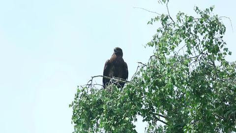 Hawk bird Stock Video Footage