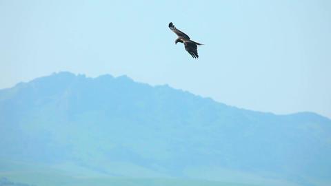 Flying hawk Footage