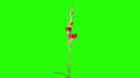 Blooming red gladiolus flower buds green screen, F Footage