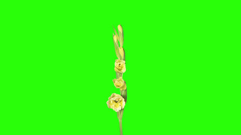 Blooming yellow gladiolus flower buds green screen Footage