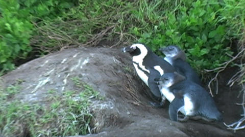 1388 Penguin on Rocks by Ocean in Cape Town Africa Stock Video Footage