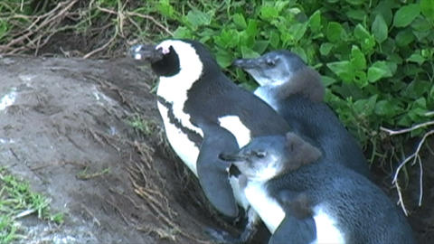 1388 Penguin on Rocks by Ocean in Cape Town Africa Footage
