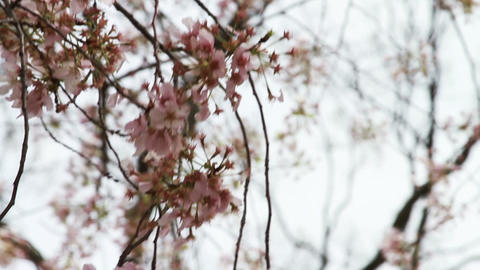 1226 Cherry Blossoms Washington DC, Blowing in the Stock Video Footage