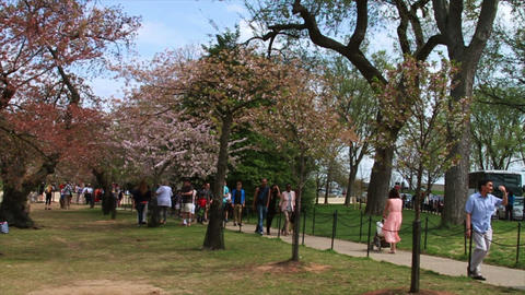 Washington DC. People looking at the Cherry Blosso Footage
