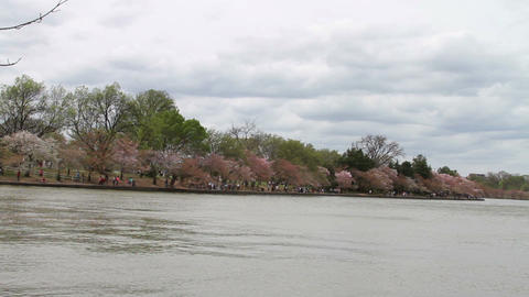 1230 Cherry Blossoms at DC next to Pond Footage