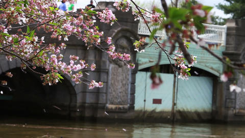 1233 Cherry Blossoms Blowing off by Bridge and Pon Footage
