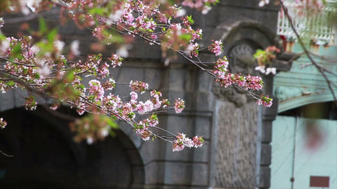 1234 Cherry Blossoms Blowing off by Bridge and Pon Footage