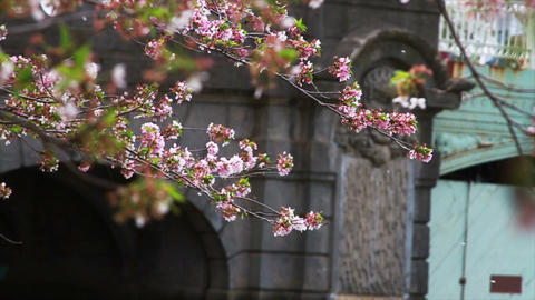 1235 Cherry Blossoms Blowing off by Bridge and Pon Footage