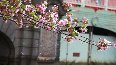 1238 Cherry Blossoms Blowing off by Bridge and Pon Stock Video Footage
