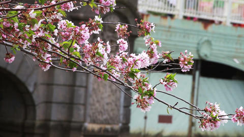 1238 Cherry Blossoms Blowing off by Bridge and Pon Footage