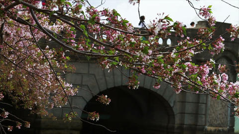 1239 Cherry Blossoms Blowing next to Bridge and Po Footage