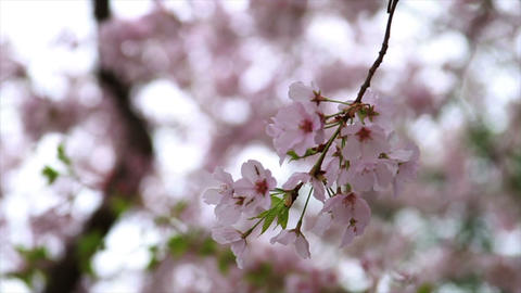 1247 Cherry Blossoms in Washington DC , Slow Motio Footage