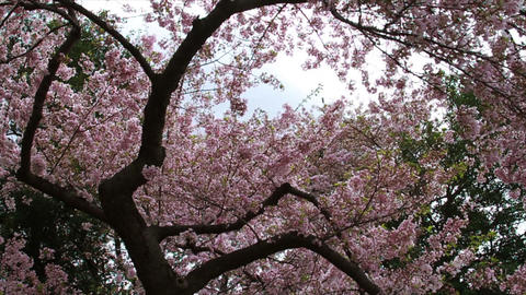 1249 Cherry Blossoms in Washington DC , Slow Motio Live Action