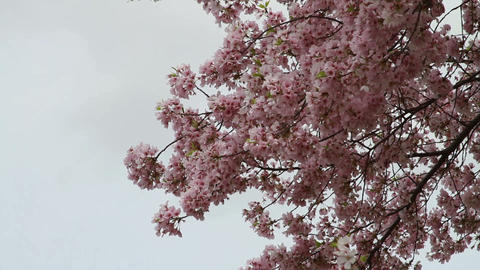1259 Cherry Blossoms Washington Monument in DC Footage
