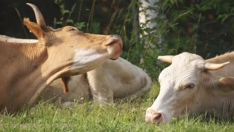 Cows On The Steet 05 stock footage