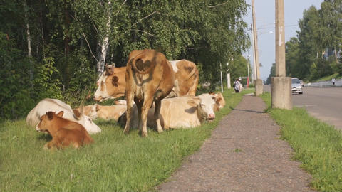 Cows on the street 08 Stock Video Footage