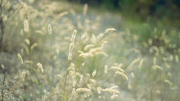 Grassland with golden wild plants Footage