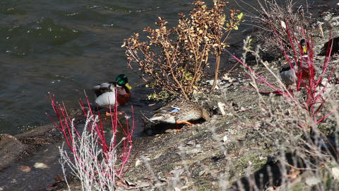 1043 Ducks by River Stock Video Footage