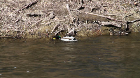 1051 Ducks in Fast Moving River Footage