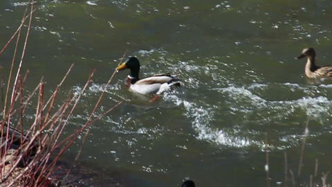 1053 Ducks Flying into a River Footage