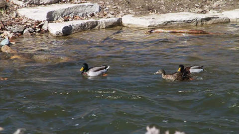 1055 Ducks Playing in a River, Slow Motion Stock Video Footage