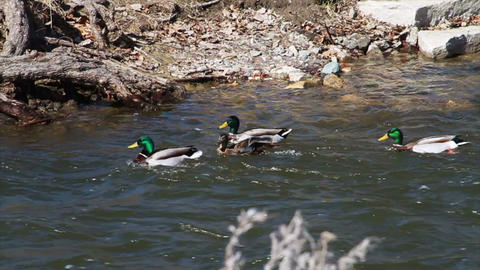 1055 Ducks Playing in a River, Slow Motion Footage