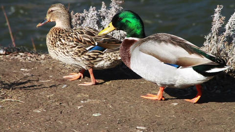 1062 Ducks Walking by River , Slow Motion Stock Video Footage
