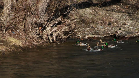 1075 Many Ducks Flying and Landing in River, Slow Footage