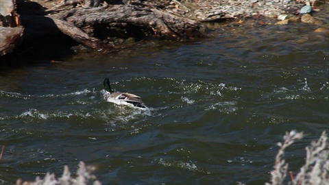 1078 Duck Flying and Landing in River , Slow Motio Footage