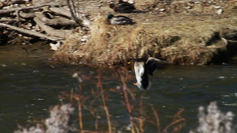 1079 Duck Flying and Landing in River , Slow Motio Stock Video Footage
