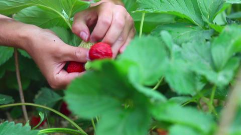 Ripe strawberry Footage