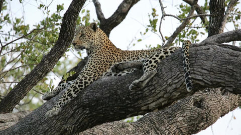 Leopard in tree Footage
