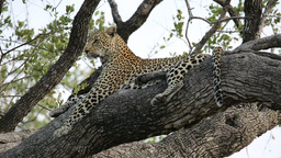 Leopard in tree Stock Video Footage
