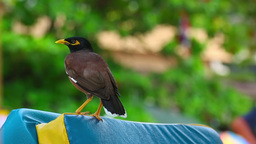 Common Myna Stock Video Footage