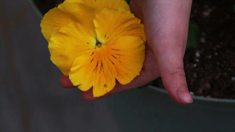 1213 Yellow Flower being held Stock Video Footage