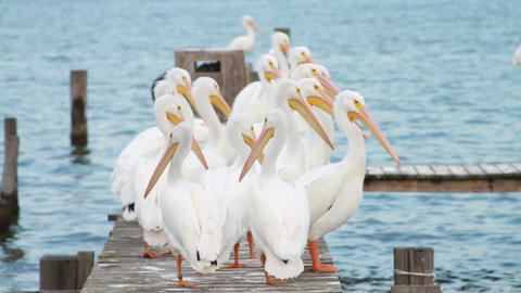 0593 White Pelican Footage