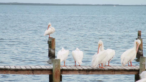 0596 White Pelican Stock Video Footage