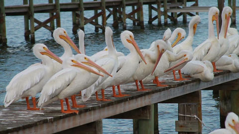 0602 White Pelican Stock Video Footage