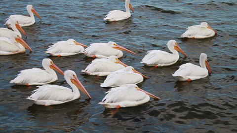 0604 White Pelican Footage