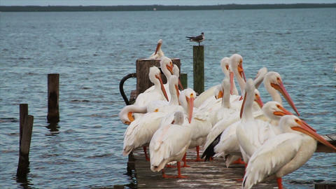 0609 White Pelican Footage