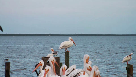 0610 White Pelican Footage
