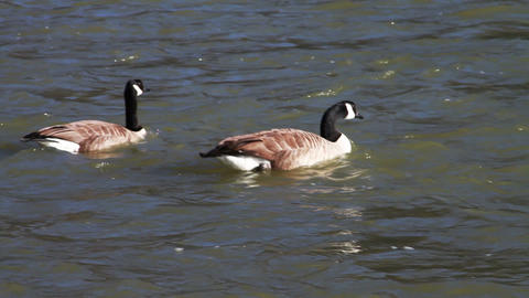 0668 Gooses Swimming Down River Footage