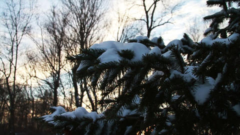 0766 Fresh Snow on Pin Tree at Sunset Stock Video Footage