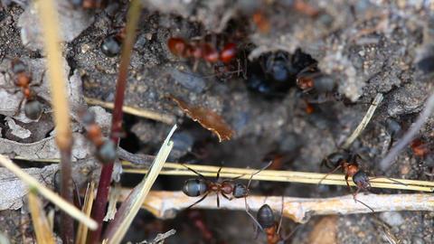 Ants nest. Macro Footage