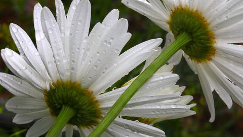 Flower daisy petals with raindrops Footage