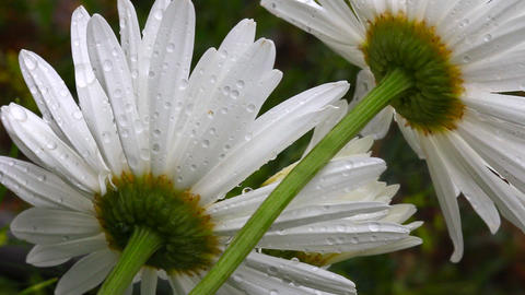 Flower daisy petals with raindrops Stock Video Footage